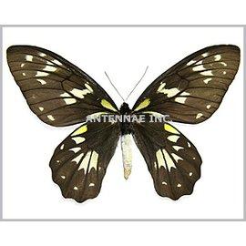 Ornithoptera and Trogonoptera Ornithoptera victoriae regis F A1 PNG