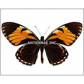 Papilionidae Papilio bachus chrysomelas M A1 Peru