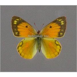 Pieridae Colias lesbia lesbia PAIR A1 Argentina