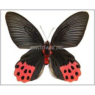 Papilionidae Atrophaneura horishana M A1 Taiwan
