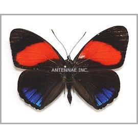 Nymphalidae Callicore cajetani M A1 Peru