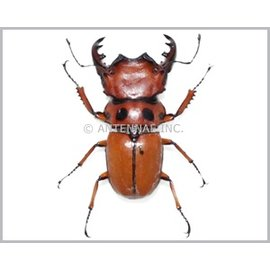 Lucanidae Homoderus mellyi M A1 RCA 4.5-5.0 cm