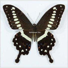 Papilionidae Papilio lormieri M A1 RCA