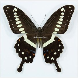 Papilionidae Papilio lormieri F A1 RCA