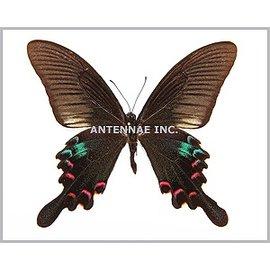 Papilionidae Papilio polyctor stockleyi M A1 Thailand