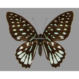 Papilionidae Graphium meeki inexpectatum F A1- PNG