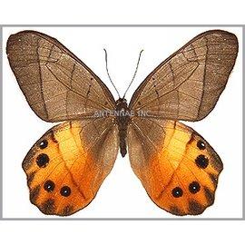 Satyridae Pierella hyceta M A1 Peru