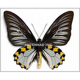 Troides Troides hypolitus hypolitus PAIR A1/A1- Indonesia