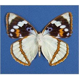 Nymphalidae Mimathyma schrenckii ssp? M A1 China