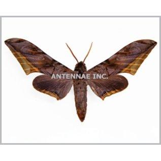 Sphingidae Acanthosphinx guesfeldtii M A1- Cameroon