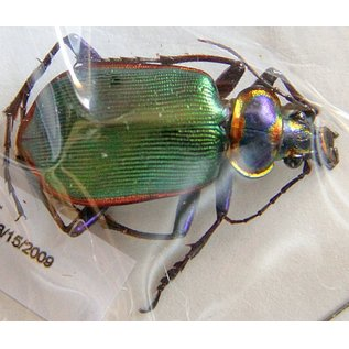 Carabidae Calosama scrutator F A1 USA