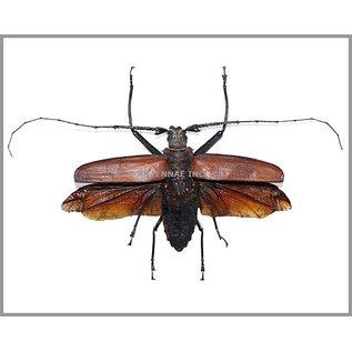 Cerambycidae Callipogon (Enoplucerus) armillatus PAIR A1 Peru 8.6-9.0 cm