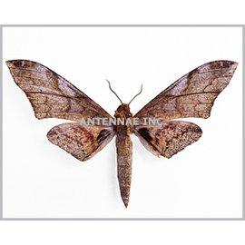 Sphingidae Platysphinx constriglis vicaria M A1 Cameroon