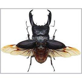 Lucanidae Dorcus titanus titanus M A1 Sulawesi _ Indonesia 6.5+ cm