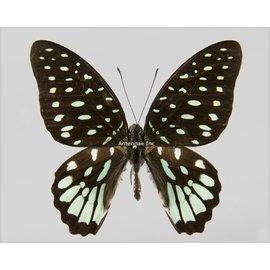 Papilionidae Graphium meeki inexpectatum M A1 PNG