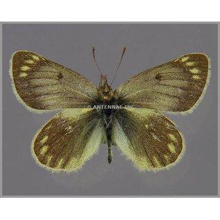 Pieridae Colias (weberbaueri) blameyi M A1 Argentina