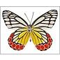 Pieridae Delias eucharis M A1/A1- Sri Lanka