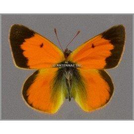 Pieridae Colias vauthieri ssp. PAIR A1 Argentina
