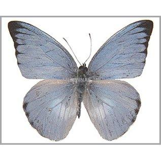 Pieridae Appias paulina ega / Appias celestina celestina MIX MF A1 Indonesia