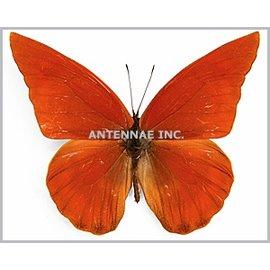 Pieridae Appias nero M A1 Indonesia