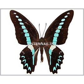 Papilionidae Graphium milon halesis M A1 Indonesia