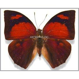 Nymphalidae Fountainea (=Anaea) ryphea ryphea M A1/A1- Peru