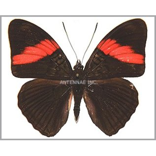Nymphalidae Adelpha lara mainas M A1 Peru