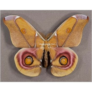 Saturnidae Antheraea suraka M A1 Madagascar
