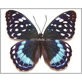 Nymphalidae Lexias satrapes amlana (Panay) M A1 Philippines