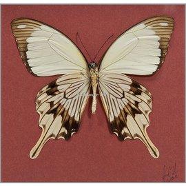 Papilionidae Papilio dardanus meriones M A1 Madagascar