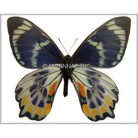 Papilionidae Papilio toboroi PAIR A1/A1- Solomon Islands
