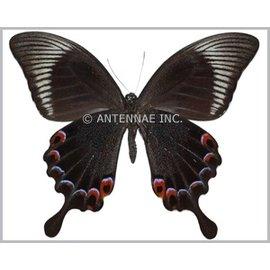 Papilionidae Papilio karna discordia M A1 Indonesia