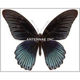 Papilionidae Papilio memnon memnon (tailless) M A1 Phillipines