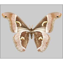 Saturnidae Epiphora ploetzi M A1/A1- Cameroon