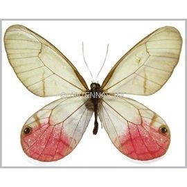 Satyridae Cithaerias merolina / C. phantoma / C. pyropina / C. aurorina M A1 Peru