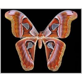 Saturnidae Attacus lorquini F A1- Phillipines
