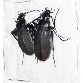 Carabidae Adelocarbus seishinensis seunglaki M A1 South Korea