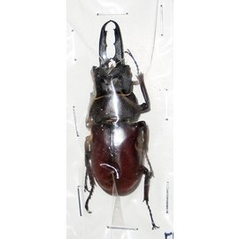 Lucanidae Prosopocoilus blanchardi parry M A1 South Korea 5.1 cm