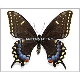 Papilionidae Papilio machaon X Papilio polyxenes PAIR A1 Belgium