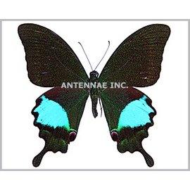 Papilionidae Papilio paris gedeensis M A1 Indonesia