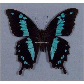 Papilionidae Papilio oribazus M A1 Madagascar