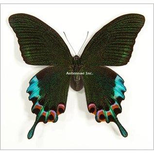 Butterflies and Moths Peacock Swallowtail