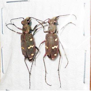 Cicindelidae Cicindela transbaicalica japanensis PAIR A1 South Korea 1.3-1.8 cm