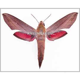 Sphingidae Hippotion eson M A1/A1- Cameroon