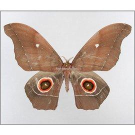 Saturnidae Nudaurelia eblis buchholzi M A1- Cameroon