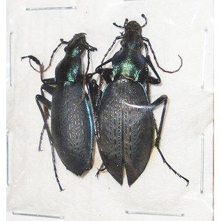 Carabidae Coptolabrus jankowskii kangwonensis M A1 South Korea