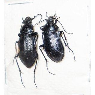 Carabidae Carabus sternbergi sternbergi M A1 South Korea