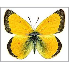 Pieridae Colias meadii elis PAIR A1 Canada