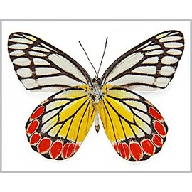 Pieridae Delias eucharis F A1- Sri Lanka