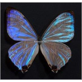 Morphidae Morpho sulkowskyi selenaris M A1 Peru